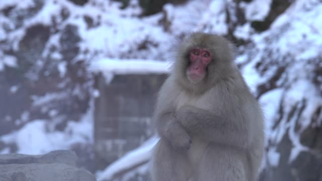 4k : snow monkey in hot spring - winter stock videos & royalty-free footage