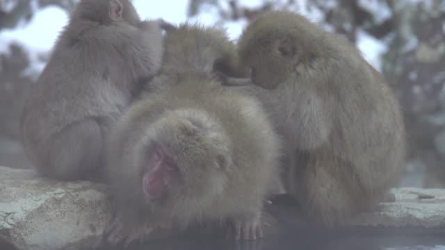 4k: Snow Monkeys Family