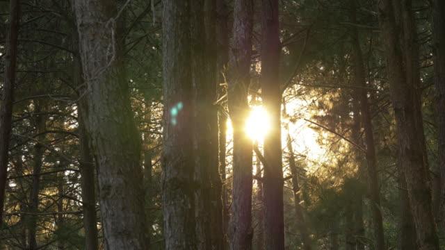vídeos de stock e filmes b-roll de 4 k : luz solar através de uma floresta pinheiros - tronco