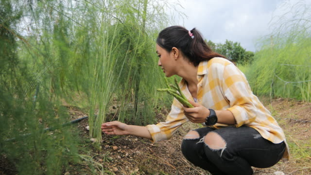 4 k、農夫および庭師は、野菜のアスパラガスを拾っています。 - harvesting点の映像素材/bロール