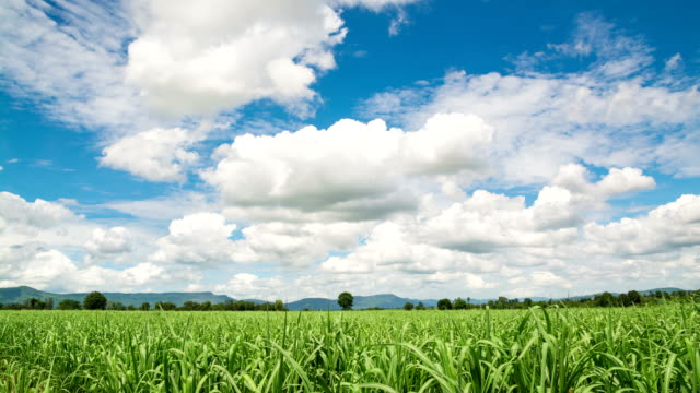 4k timalapse video clip of moving cloud and blue sky over sugarcane field highland countryside or rural. - sugar cane stock videos & royalty-free footage