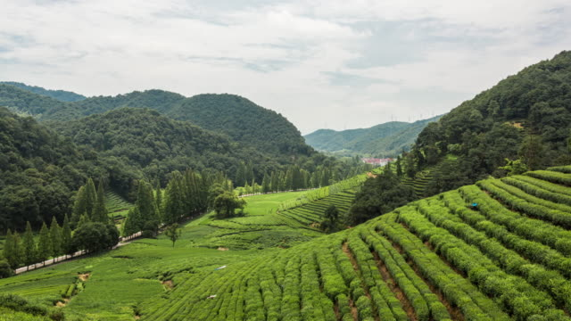 4k time lapse:tea plantation in meijiawu village,hangzhou,zhejiang,china - tea crop stock videos & royalty-free footage