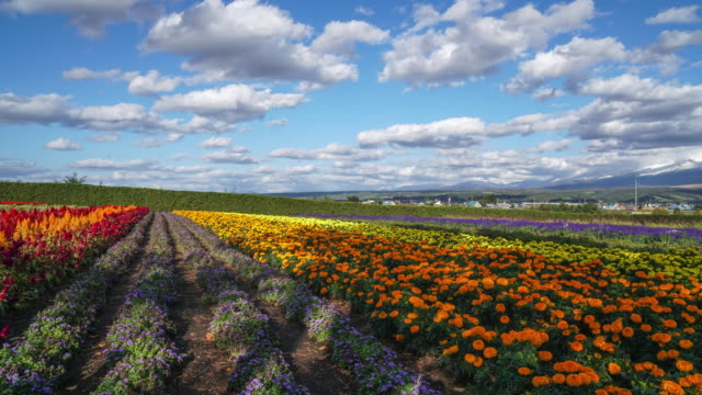 4k timelapse : colorful flower field - multi coloured stock videos & royalty-free footage