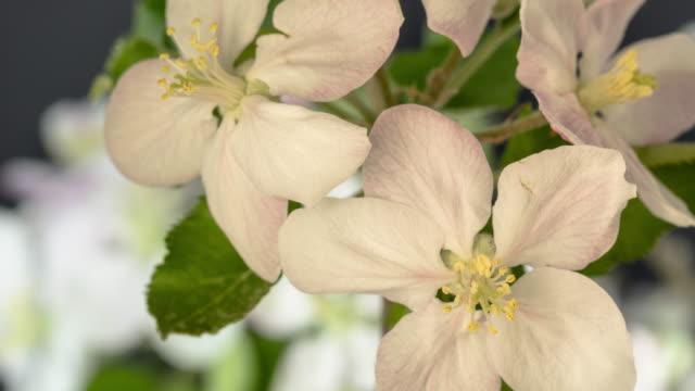 4k zeitraffer eines apfelbaums weiße blütenblühen und wachsen auf schwarzem hintergrund. blühende blume von malus domestica. kleine weiße blume, wachsen und blühen auf schwarzem hintergrund. - erblühen zeitraffer stock-videos und b-roll-filmmaterial
