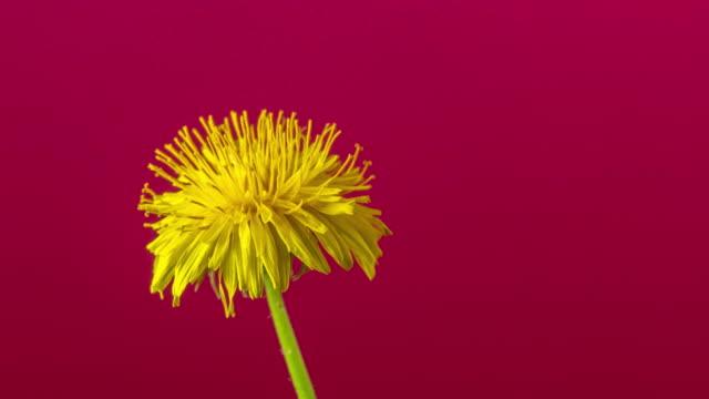 vidéos et rushes de 4k timelapse d'une fleur de dandalion tournant, fleurissent et poussent sur un fond rouge. fleur fleurie de taraxacum officinale. - turning on or off