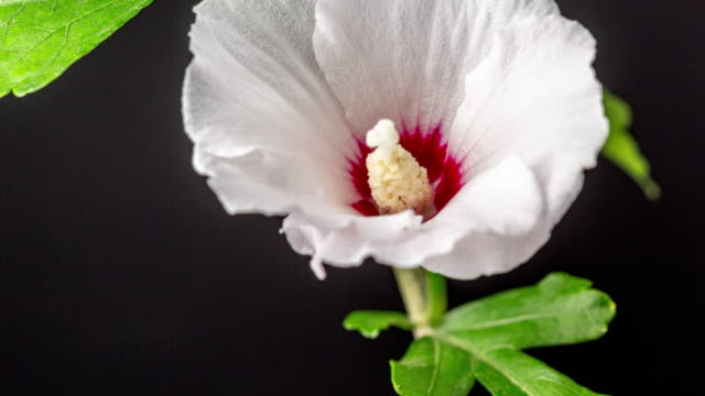 4k timelapse of an hibiscus flower blossom bloom and grow on a black background. blooming flower of lilium. - weiß stock videos & royalty-free footage