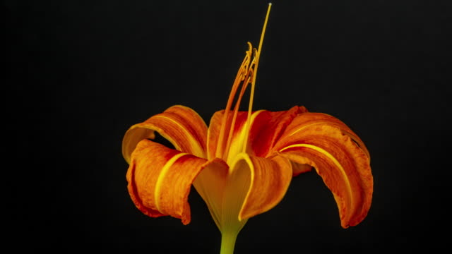 4k timelapse of an lilies flower blossom bloom and grow on a black background. blooming flower of lilium. - drehen stock videos & royalty-free footage