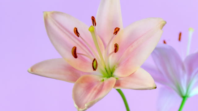 4k timelapse of an lilies flower blossom bloom and grow on a pink background. blooming flower of lilium. - drehen stock videos & royalty-free footage