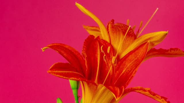 4k timelapse of an lilies flower blossom bloom and grow on a red background. blooming flower of lilium. - drehen stock videos & royalty-free footage