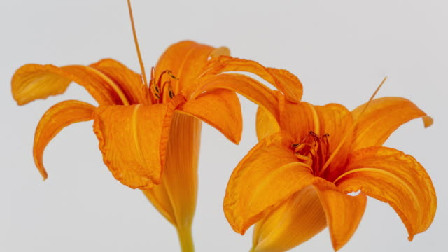 4k timelapse of an lilies flower blossom bloom and grow on a white background. blooming flower of lilium. - drehen stock videos & royalty-free footage