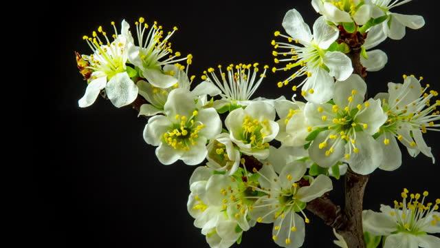 4k timelapse of an plum tree flower blossom bloom and grow on a black background. blooming small white flower of prunus. time lapse in 9:16 ratio. - ståndare bildbanksvideor och videomaterial från bakom kulisserna
