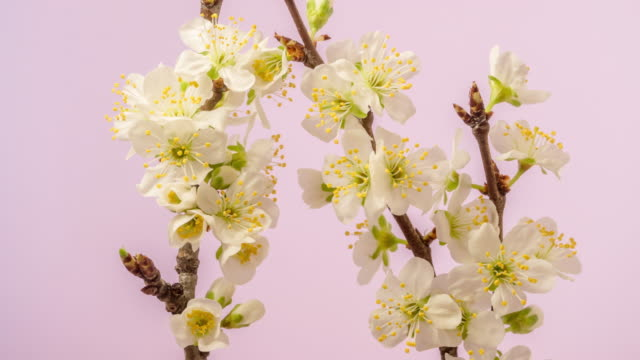 4k timelapse of an plum tree flower blossom bloom and grow on a pink background. blooming small white flower of prunus. time lapse in 9:16 ratio. - zeitraffer fast motion stock videos & royalty-free footage