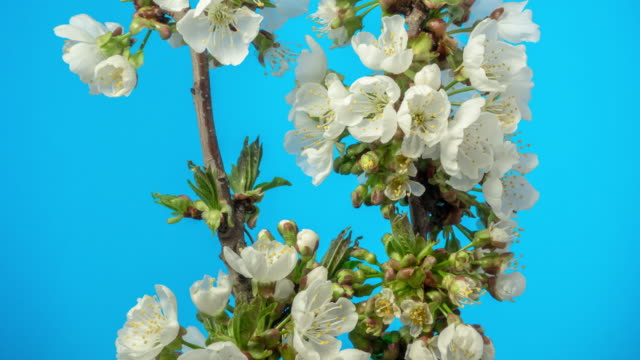 4k timelapse of an sweet cherry tree flower blossom bloom and grow on a blue background. blooming small white flower of prunus avium. time lapse in 9:16 ratio. - zeitraffer fast motion stock videos & royalty-free footage