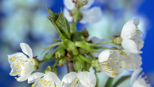 4k timelapse of an sweet cherry tree flower blossom bloom and grow on a blue background. blooming small white flower of prunus avium. time lapse in 9:16 ratio. - flowering plant stock videos & royalty-free footage