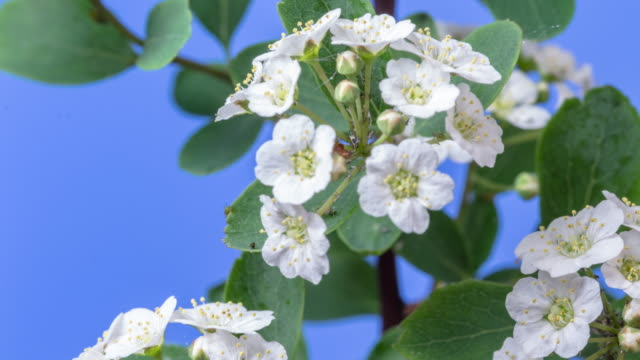 4k timelapse of an thornapple tree flower growing and moving on a blue background. blooming flower of crataegus. - thorn stock videos & royalty-free footage