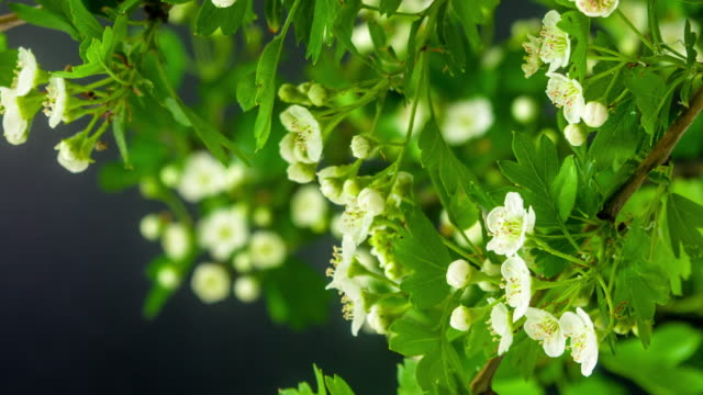 vídeos de stock e filmes b-roll de 4k timelapse of an thornapple tree flower growing and moving on a black background. blooming flower of crataegus. - espinho