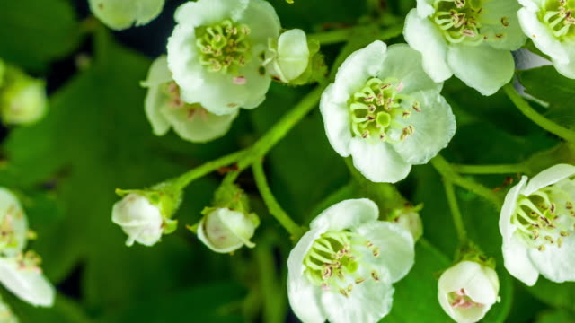 4k timelapse of an thornapple tree flower growing and moving on a black background. blooming flower of crataegus. - stamen stock videos & royalty-free footage