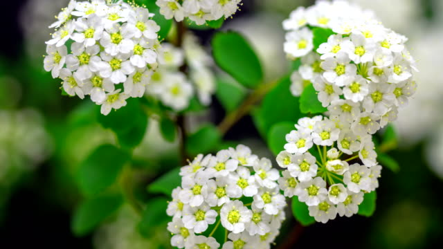 vídeos de stock e filmes b-roll de 4k timelapse of an thornapple tree flower growing of a black background. blooming flower of crataegus. - botão estágio de flora
