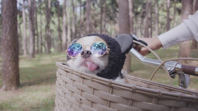 4k tracking cute little dog with sunglasses on bicycle basket - pulling funny faces stock videos & royalty-free footage