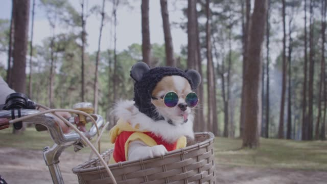 vídeos de stock e filmes b-roll de 4k tracking with chihuahua dog in basket of bicycle - cão