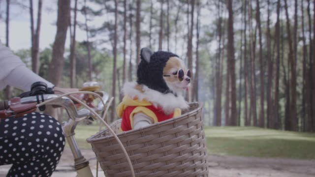vídeos de stock e filmes b-roll de 4k tracking with happy chihuahua dog in basket of bicycle - cachorro