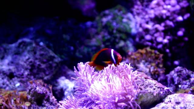 4k tropical fish - clown fish stock videos & royalty-free footage