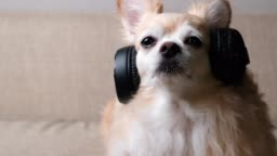 4k uhd slow motion footage cute relax brown hair chihuahua dog look at camera smile with clam and relax enjoy music from headphone on sofa couch living room home background