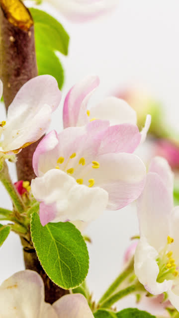 4k vertical timelapse of an apple tree flower blossom bloom and grow on a white background. blooming flower of malus domestica. vertical time lapse in 9:16 ratio mobile phone and social media ready. - zeitraffer stock videos & royalty-free footage
