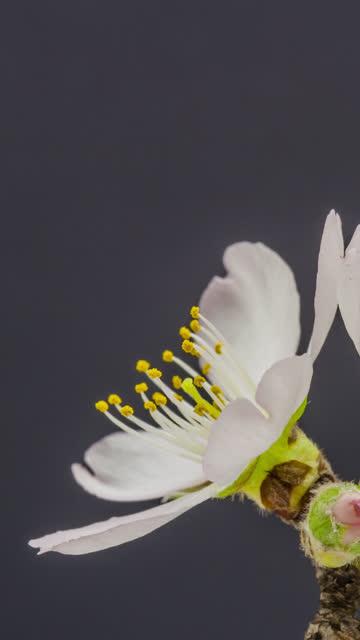 stockvideo's en b-roll-footage met 4k verticale timelapse van een abrikozenbloembloeibloei bloeien en groeien op een zwarte achtergrond. bloeiende bloem van prunus armeniëca. verticale time lapse in 9:16 ratio mobiele telefoon en sociale media klaar. - fruit