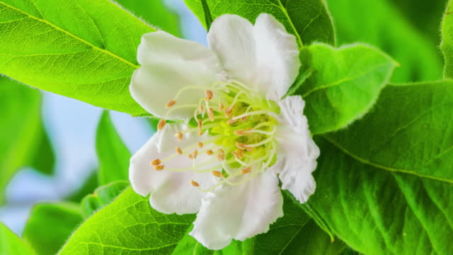 4k vertical timelapse of an common medlar flower blossom bloom and grow on a blue background. blooming flower of mespilus germanica. vertical time lapse in 9:16 ratio mobile phone and social media ready. - flower stock videos & royalty-free footage