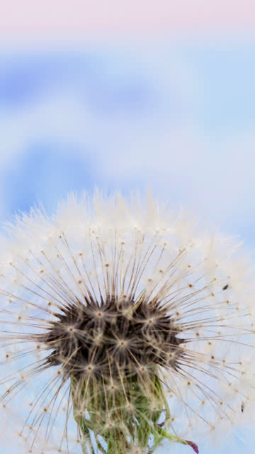 4k vertical timelapse of an dandalion flower blossom bloom and grow on a blue background. blooming flower of taraxacum officinale. vertical time lapse in 9:16 ratio mobile phone and social media ready. - dandelion stock videos & royalty-free footage