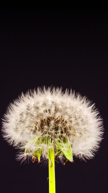 4k vertical timelapse of an dandalion flower blossom bloom and grow on a black background. blooming flower of taraxacum officinale. vertical time lapse in 9:16 ratio mobile phone and social media ready. - zeitraffer fast motion stock videos & royalty-free footage