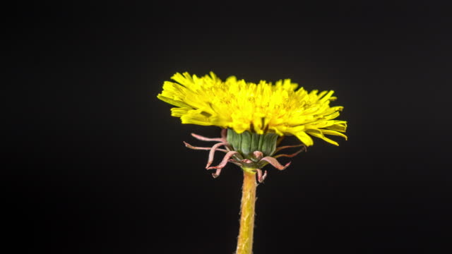4k vertical timelapse of an dandalion flower blossom bloom and grow on a black background. blooming flower of taraxacum officinale. - open field stock videos & royalty-free footage