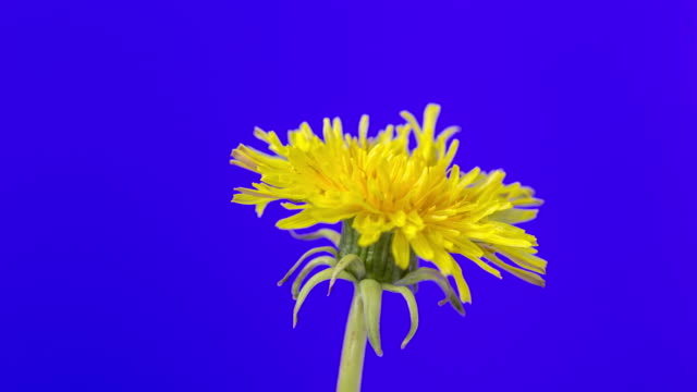 4k vertical timelapse of an dandalion flower blossom bloom and grow on a blue background. blooming flower of taraxacum officinale. - open field stock videos & royalty-free footage