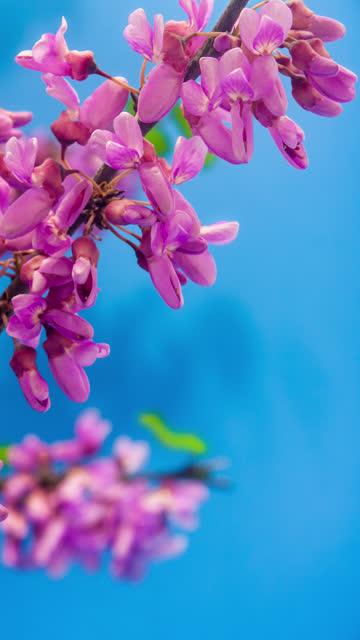 vídeos y material grabado en eventos de stock de 4k lapso de tiempo vertical de un árbol de judas flor flor florece y crecen sobre un fondo azul. flor floreciente de cercis siliquastrum. lapso de tiempo vertical en 9:16 relación teléfono móvil y redes sociales listo. - judas