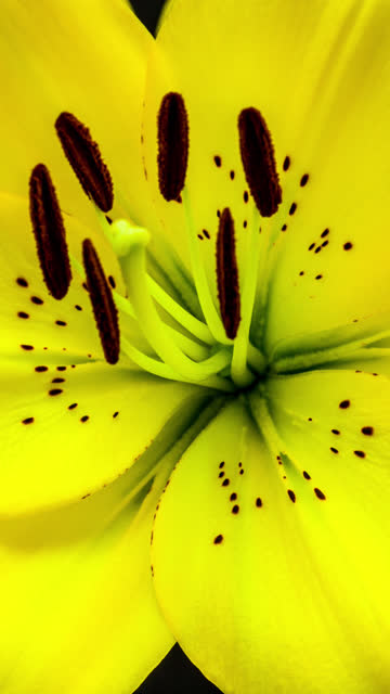 4k vertical timelapse of an lilies flower blossom bloom and grow on a black background. blooming flower of lilium. vertical time lapse in 9:16 ratio mobile phone and social media ready - lily stock videos & royalty-free footage