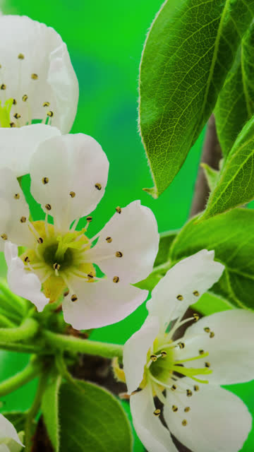 4k vertical timelapse of an pear flower blossom bloom and grow on a green background. blooming flower of pyrus. vertical time lapse in 9:16 ratio mobile phone and social media ready. - temperate flower stock videos & royalty-free footage