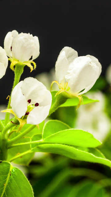 4k vertical timelapse of an pear flower blossom bloom and grow on a black background. blooming flower of pyrus. vertical time lapse in 9:16 ratio mobile phone and social media ready. - temperate flower stock videos & royalty-free footage