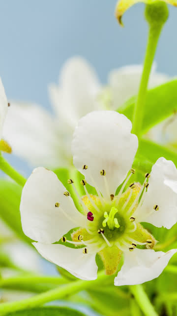 4k vertical timelapse of an pear flower blossom bloom and grow on a blue background. blooming flower of pyrus. vertical time lapse in 9:16 ratio mobile phone and social media ready. - temperate flower stock videos & royalty-free footage
