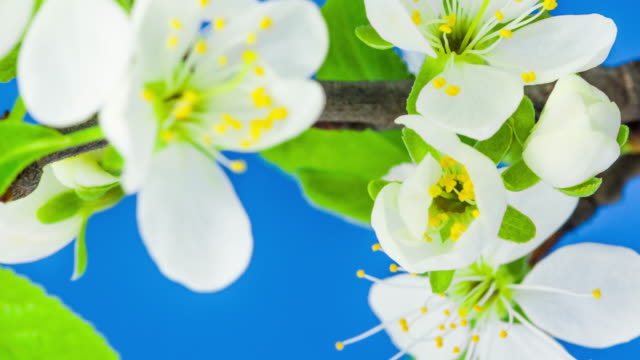 4k vertical timelapse of an plum tree flower blossom bloom and grow on a blue background. blooming flower of prunus. vertical time lapse in 9:16 ratio mobile phone and social media ready. - plum stock videos & royalty-free footage
