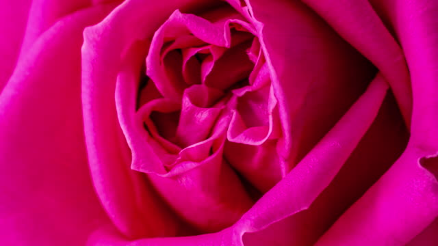 4k vertical timelapse of an rose flower blossom bloom and grow on a white background. blooming flower of rosa. vertical time lapse in 9:16 ratio mobile phone and social media ready. - flower head stock videos & royalty-free footage