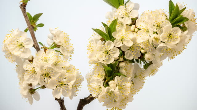 4k vertical timelapse of an sour cherry tree bunch of flower blossom bloom and grow on a white background. blooming small white flowers of prunus cerasus. time lapse in 9:16 ratio. - weißer hintergrund stock videos & royalty-free footage