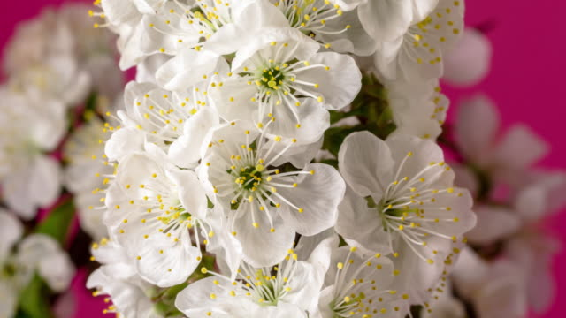 4k vertical timelapse of an sour cherry tree bunch of flower rotating, blossom bloom and grow on a red background. blooming and spinning small white flowers of prunus cerasus. time lapse in 9:16 ratio. - weißer hintergrund stock videos & royalty-free footage
