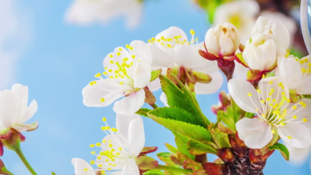 4k vertical timelapse of an sour cherry tree flower blossom bloom and grow on a blue background. blooming flower of prunus cerasus. vertical time lapse in 9:16 ratio mobile phone and social media ready. - zeitraffer fast motion stock videos & royalty-free footage
