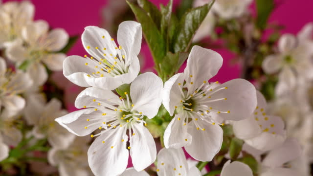 4k vertical timelapse of an sour cherry tree flower rotating, blossom bloom and grow on a red background. blooming and spinning small white flowers of prunus cerasus. time lapse in 9:16 ratio. - weißer hintergrund stock videos & royalty-free footage