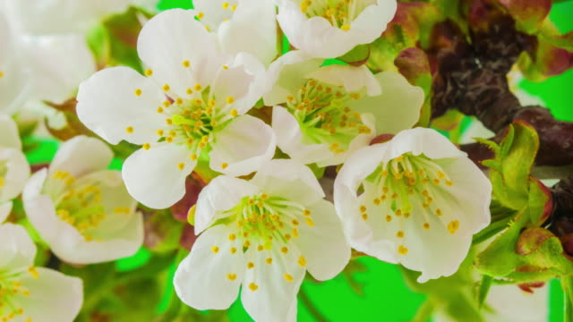 4k vertical timelapse of an sweet cherry tree flower blossom bloom and grow on a green background. blooming flower of prunus avium. vertical time lapse in 9:16 ratio mobile phone and social media ready. - flowering plant stock videos & royalty-free footage