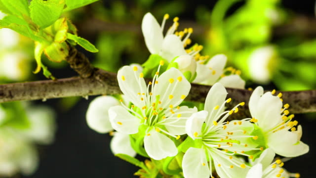 4k vertical timelapse of an sweet cherry tree flower blossom bloom and grow on a black background. blooming flower of prunus avium. vertical time lapse in 9:16 ratio mobile phone and social media ready. - flowering plant stock videos & royalty-free footage