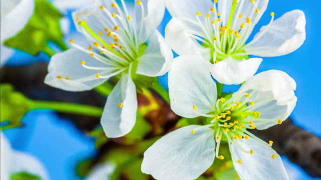 4k vertical timelapse of an sweet cherry tree flower blossom bloom and grow on a blue background. blooming flower of prunus avium. vertical time lapse in 9:16 ratio mobile phone and social media ready. - flowering plant stock videos & royalty-free footage