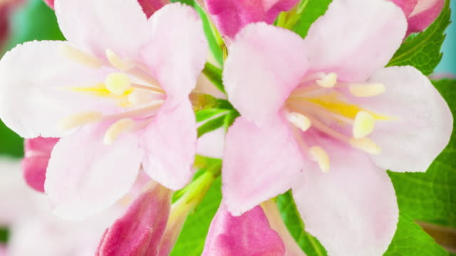 4k vertical timelapse of an weigela florida flower blossom bloom and grow on a blue background.  vertical time lapse in 9:16 ratio mobile phone and social media ready. - single flower stock videos & royalty-free footage