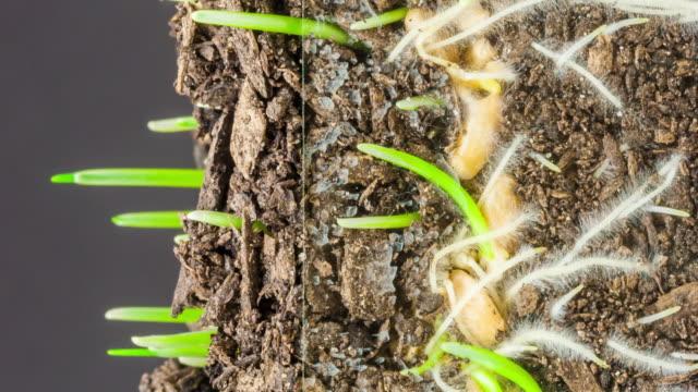 vídeos y material grabado en eventos de stock de 4k lapso de tiempo vertical de un trigo que crece a partir de semillas sobre un fondo negro. triticum aestivum creciendo a partir de semillas. lapso de tiempo vertical en 9:16 relación teléfono móvil y redes sociales listo. - compuesto digital